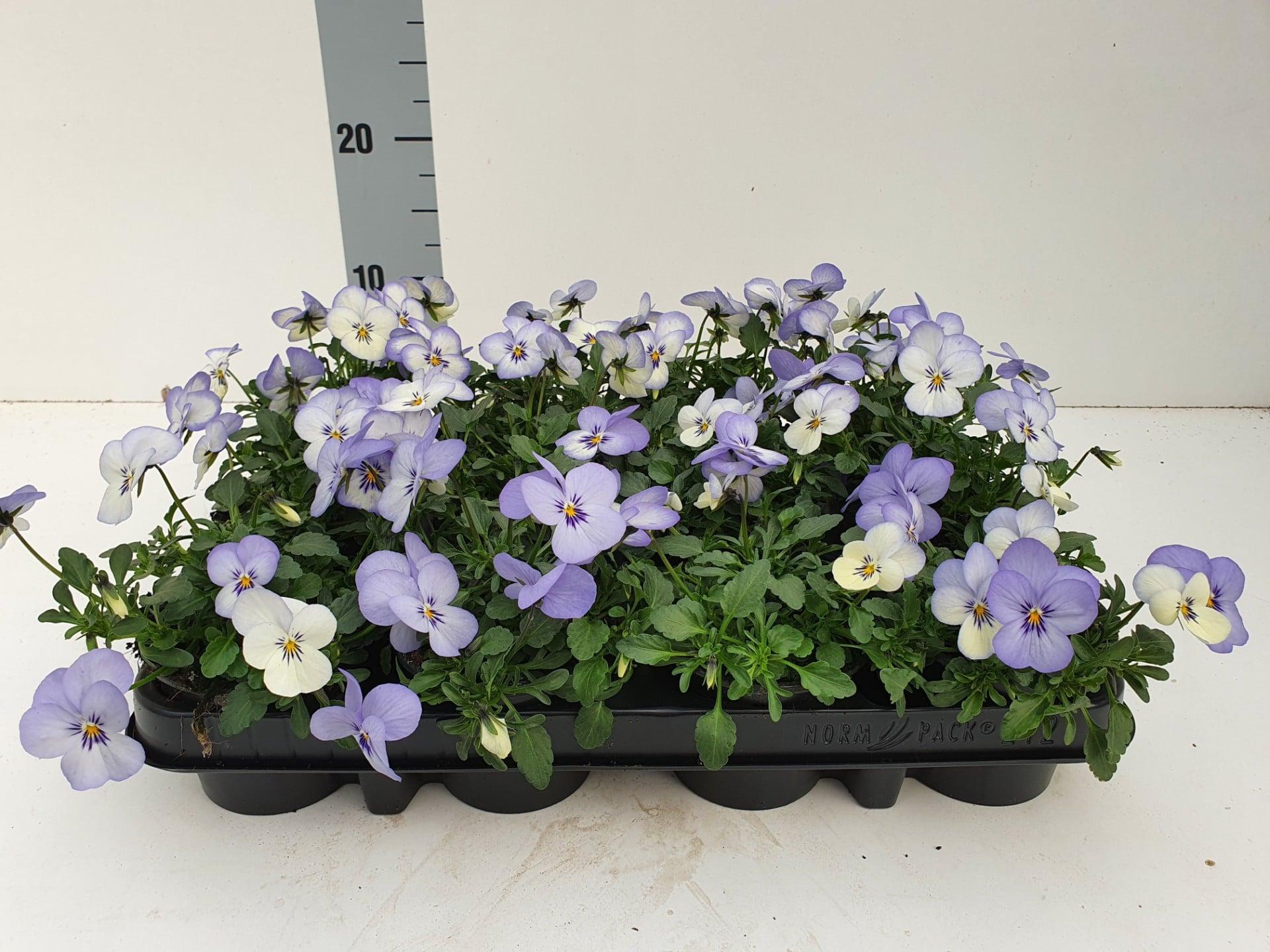 Bosviool wit blauw Viola Cornuta
