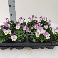 Bosviool wit lila Viola Cornuta