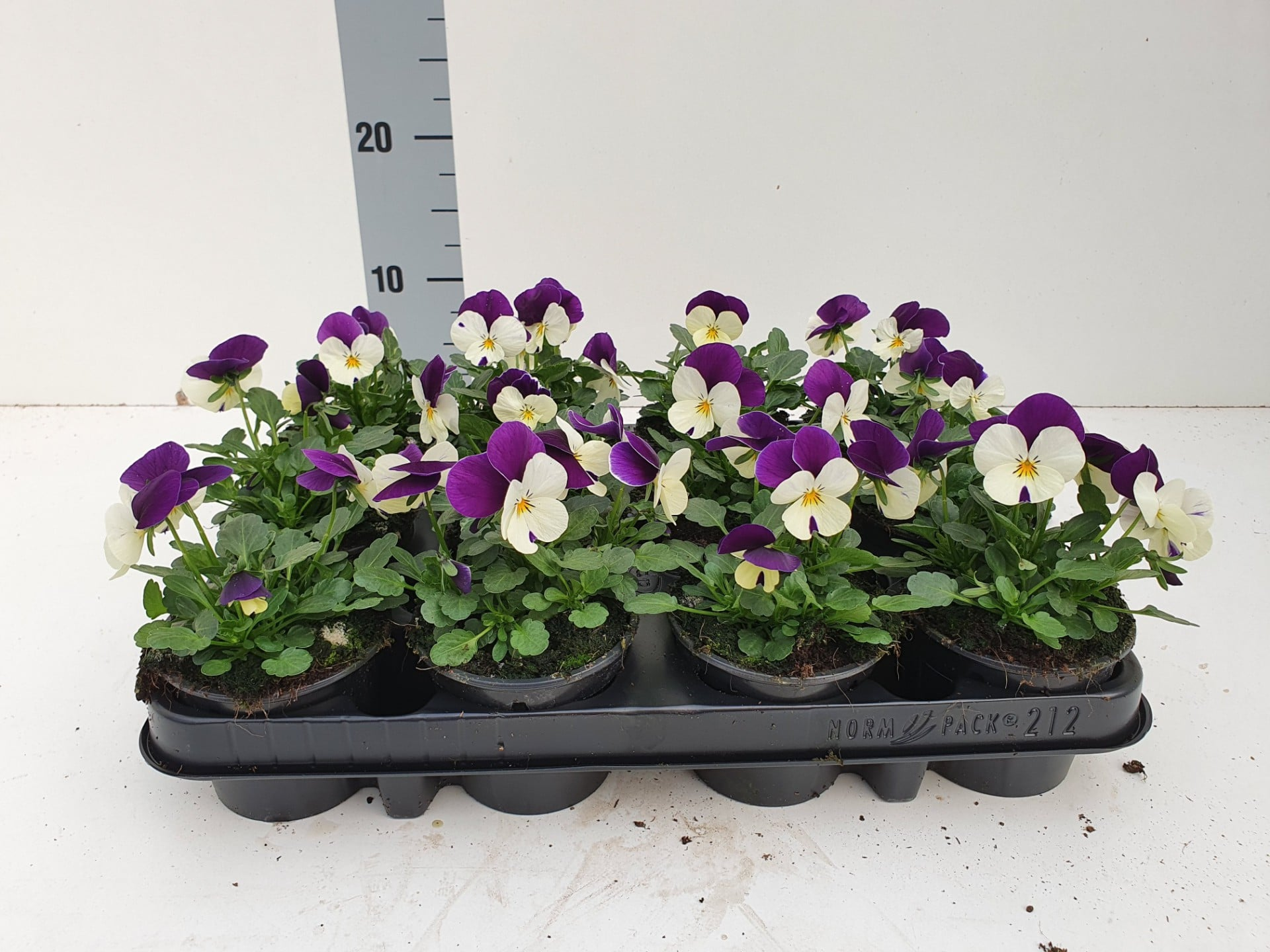 Bosviool wit paars Viola Cornuta