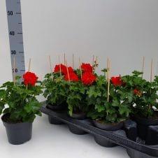 Hanggeranium Pelargonium Peltatum rood
