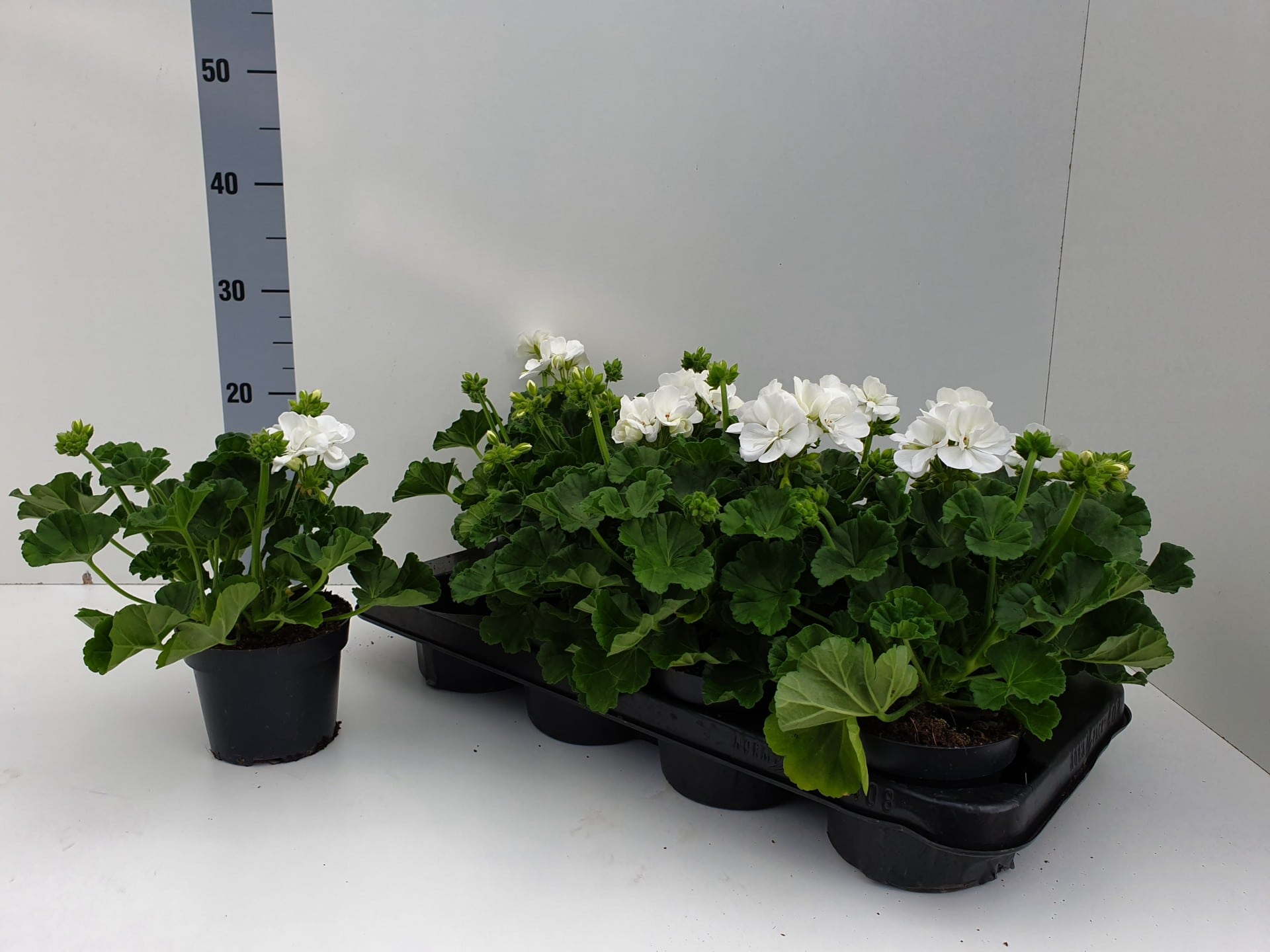 Staande geranium pelargonium Zonale