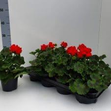 Staande geranium Pelargonium Zonale rood