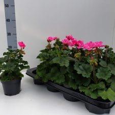 Staande geranium Pelargonium Zonale roze