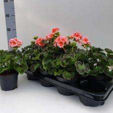 Geranium Pelargonium Zonale zalmroze