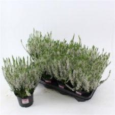 Calluna vulgaris alicia
