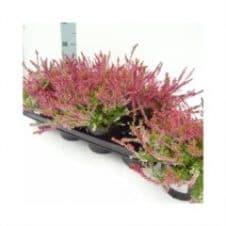 Calluna vulgaris bonita
