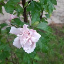 Hibiscus op stam Hibiscus syriacus Woodbridge roze