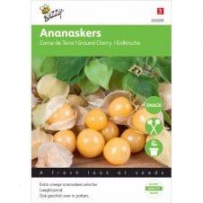 Buzzy Ananaskers zaad Physalis pruinosa.