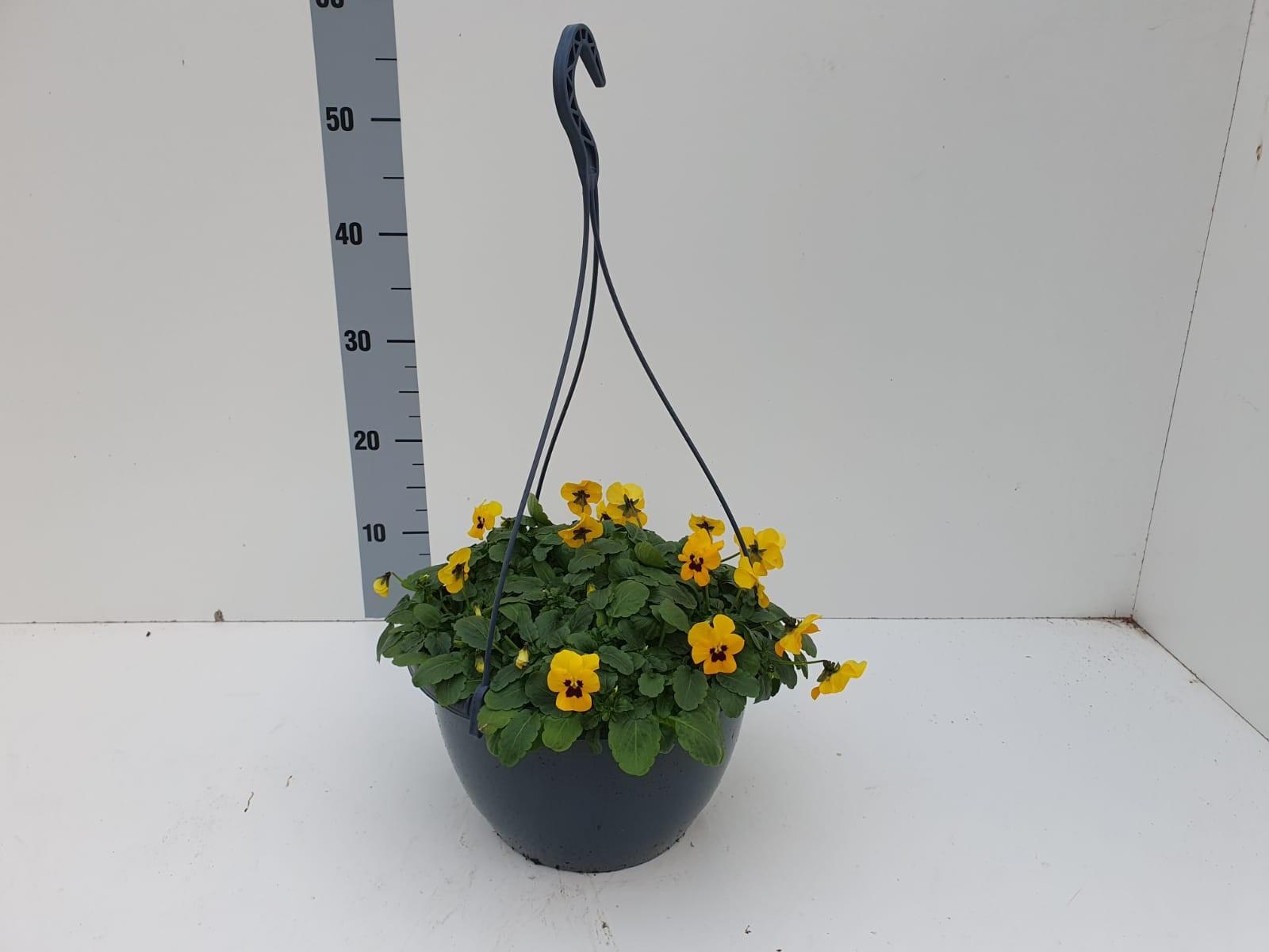 Hangpot viooltjes Cornuta geel