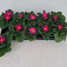 Primula Acaulis Donker roze