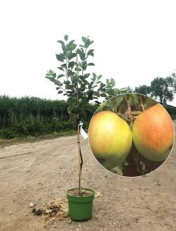 Malus james grieve appelboom