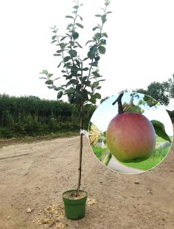 Malus notarisappel appelboom