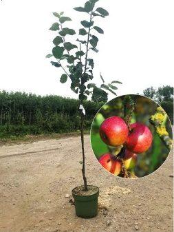 Malus rode van boskoop appelboom