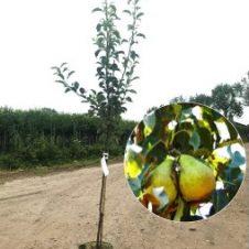 Pyrus gieser wildeman perenboom