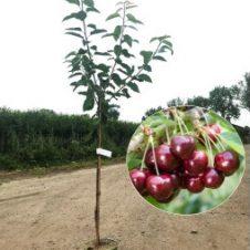 Kersenboom Prunus Lapins