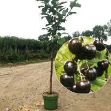 Prunus kersenboom regina