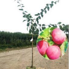Prunus victoria