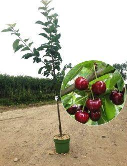 Prunus bigarreau burlat kersenboom