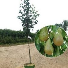 Pyrus conference kleine perenboom
