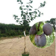 Prunus Opal pruimenboom