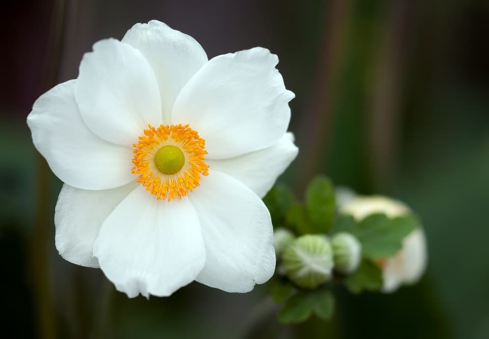 Anemone Anemoon Sylvestris Borderplant