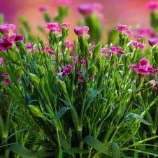 Anjer Dianthus Pink Jewel