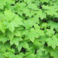 Blad Schuimbloem Tiarella cordifolia