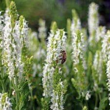 Salie Salvia nemorosa Schneehügel